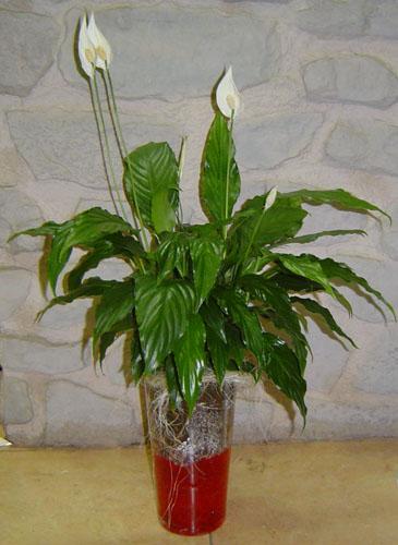 Spatiphyllum En Jarron Flores Floristeria Emi